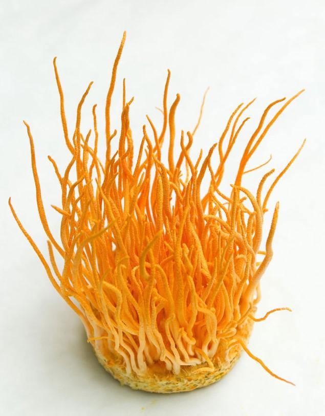 Đông trùng hạ thảo sinh khối tươi