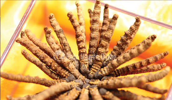 Tác dụng chính của đông trùng hạ thảo