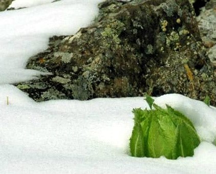 Tuyết liên hoa sống và sinh trưởng vùng giá lạnh