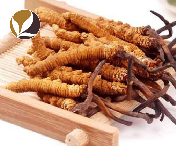 Đông trùng hạ thảo Tây Tạng nguyên con