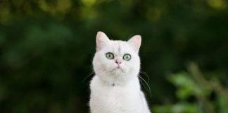 Nằm mơ thấy mèo trắng xuất hiện